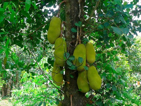 http://www.backpackingmalaysia.com/images/uploads/stories/jackfruit-tree_thumb.jpg