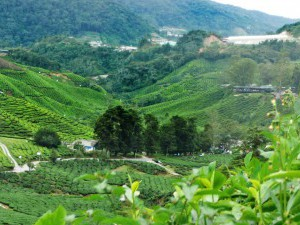 Cameron Highlands,  Boh Tea Plantation