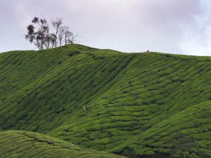 {Cameron Highlands,  tea plantation