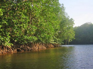 Cherating,  mangrove forest