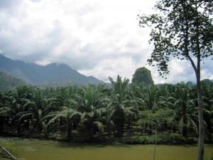 Jungle Train,  palm oil plantation treeswith forest covered mountains in the background