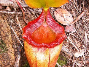 Mount Kinabalu National Park,  pitcher plant