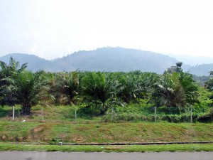 Malaysian Moments,  palm oil  fields