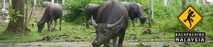Water Buffalo on Langkawi