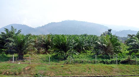 palm oil estate